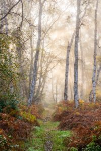 Misty morning sun rays at Holme Fen, silver birch wood, in Cambridgeshire during autumn.