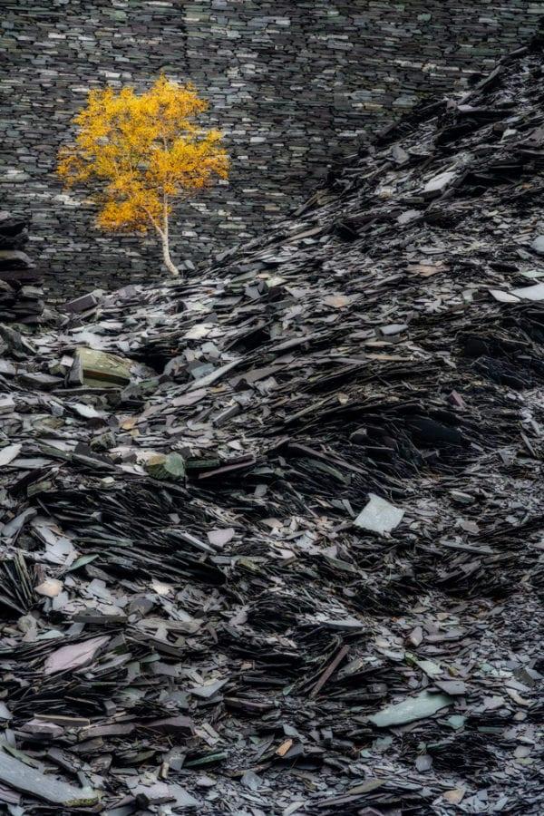 Lone tree in autumn at Dinorwic Slate Mine in Snowdonia