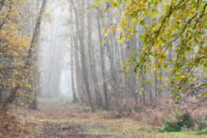 Silver birch trees at Holme Fen Nature Reserve in Cambridgeshire on a misty autumn morning