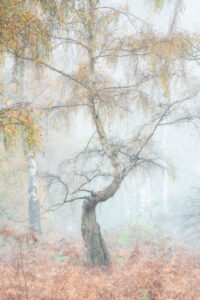 Lone silver birch tree at Holme Fen Nature Reserve in Cambridgeshire on a misty autumn morning